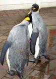 pingvinroyalin Arkivbild