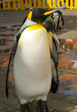 pingvinroyalin Fotografering för Bildbyråer