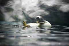 pingvinsimning Arkivfoton