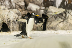 Pingvinspring Arkivfoton