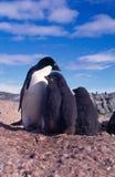 pingvinugle Royaltyfria Foton