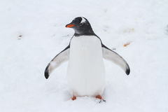 Pingvivn Gentoo die zijn uitgespreide vleugels waard is Royalty-vrije Stock Afbeelding