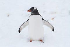 Pingvivn Gentoo som är värd dess utbredda vingar Royaltyfri Bild