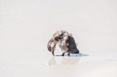 pingwinów afrykańscy potomstwa Fotografia Stock