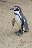 pingwin Zdjęcia Royalty Free