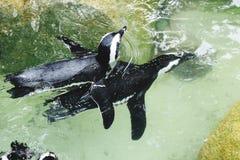 Pingwin Obrazy Stock