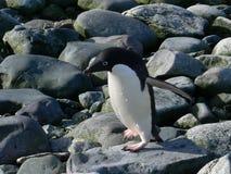pingwin adelie Obrazy Stock