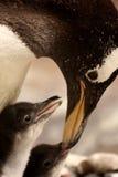 pingwin cesarski cizia pingwin Zdjęcie Royalty Free