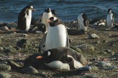 pingwin cesarski pingwin Fotografia Royalty Free