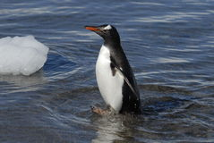 pingwin cesarski pingwin Obraz Royalty Free