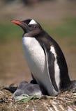 pingwin cesarski pingwin Zdjęcia Stock