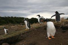 pingwin cesarski pingwiny fotografia stock