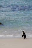 Pingwin chodzi morze, Południowa Afryka Fotografia Stock