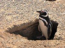 Pingwin cieszy się światło słoneczne w Punta Tombo, Argentyna Zdjęcie Royalty Free