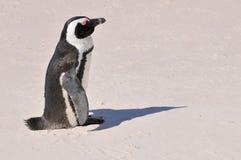 Pingwin - głazy Wyrzucać na brzeg - Południowa Afryka Obrazy Royalty Free