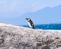 Pingwin - głazy Wyrzucać na brzeg - Południowa Afryka Obraz Royalty Free