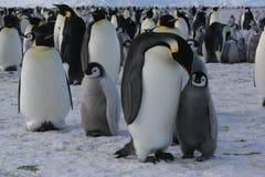 pingwin imperatora. obraz royalty free
