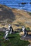 Pingwin kolonia Fotografia Royalty Free