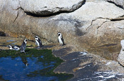 Pingwin kolonia Obraz Stock