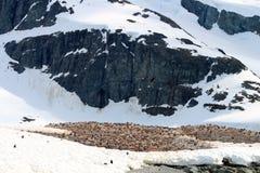 Pingwin kolonia, Danco wyspa Obraz Royalty Free