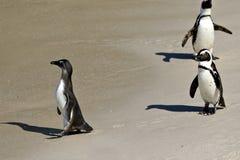 Pingwin kolonia na głazach Wyrzucać na brzeg blisko Kapsztad, Simon ` s miasteczko Południowa Afryka, Zdjęcie Royalty Free