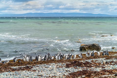 Pingwin kolonia przy Punta Arenas zdjęcia royalty free