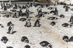 Pingwin kolonia w Betty ` s zatoce, Południowa Afryka fotografia stock