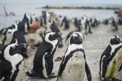 Pingwin kolonia w Hermanus, Ogrodowa trasa, Południowa Afryka Zdjęcie Royalty Free