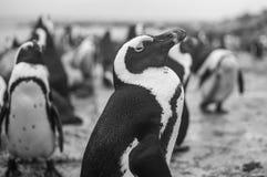 Pingwin kolonia w Hermanus, Ogrodowa trasa, Południowa Afryka Zdjęcie Stock