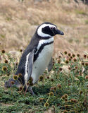 pingwin magellanic Obrazy Stock