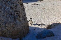 Pingwin na głaz plaży, Simons miasteczko Obrazy Stock