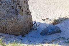 Pingwin na głaz plaży, Simons miasteczko Fotografia Royalty Free
