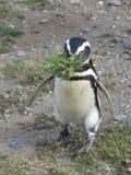 Pingwin na jego sposobie budować gniazdeczko Obraz Royalty Free
