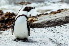 Pingwin na plaży, Południowa Afryka, wybrzeże Zdjęcia Stock