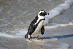 Pingwin na plaży Zdjęcia Royalty Free