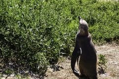 Pingwin na trawie fotografia stock