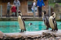 Pingwin od Antartic Obraz Stock