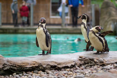 Pingwin od Antartic Zdjęcia Royalty Free