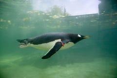 pingwin opływa Fotografia Royalty Free