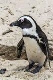 Pingwin plaża, Południowa Afryka Fotografia Stock