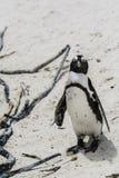 Pingwin plaża, Południowa Afryka Obraz Royalty Free