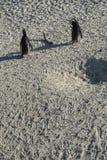 Pingwin plaża w przylądka miasteczku Obrazy Royalty Free