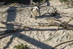 Pingwin plaża w przylądka miasteczku Zdjęcia Royalty Free