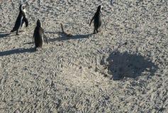 Pingwin plaża w przylądka miasteczku Zdjęcie Royalty Free