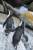 Pingwin plaża w przylądka miasteczku Fotografia Royalty Free