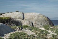 Pingwin plaża w przylądka miasteczku Obraz Stock