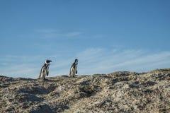 Pingwin plaża w przylądka miasteczku Obraz Royalty Free