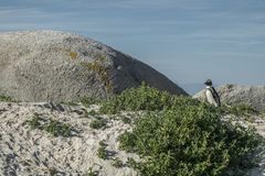 Pingwin plaża w przylądka miasteczku Zdjęcia Stock