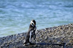 Pingwin pozycja na skale zdjęcie stock