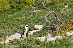 Pingwin przy it& x27; s gniazdeczko pod krzakami, Południowa Afryka Zdjęcie Royalty Free